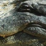 Alligator at Homosassa Springs