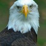Bald Eagle at Homosassa Springs
