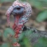 Wild Turkey at Homosassa Springs