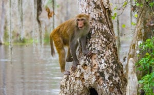 Silver Springs Wild Monkeys Attract Tourists – And Controversy