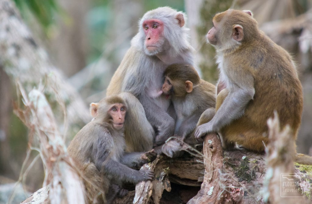 Family of rhesus macaque monkeys.